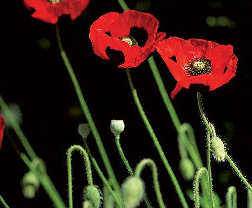 Kultivar 'Ladybird' vynikne nejlépe ve větším počtu