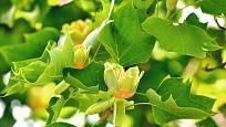 lyrovník (liliovník tulipánokvětý)