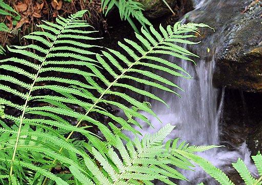 podezřeň (Osmunda cinnamomea), americká příbuzná podezřeně královské