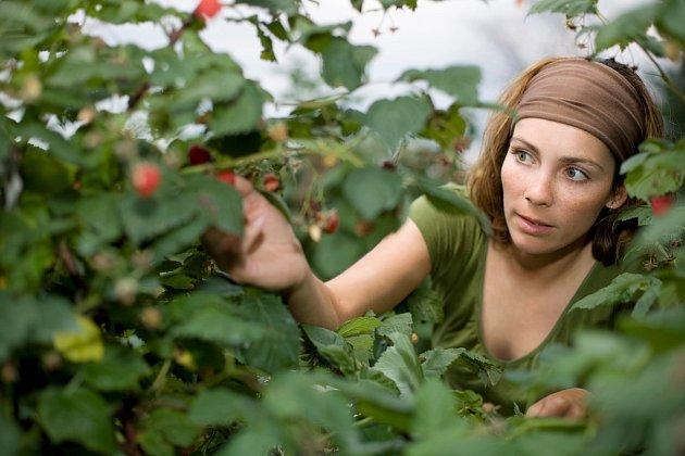 Maliny jsou oblíbeným letním ovocecm