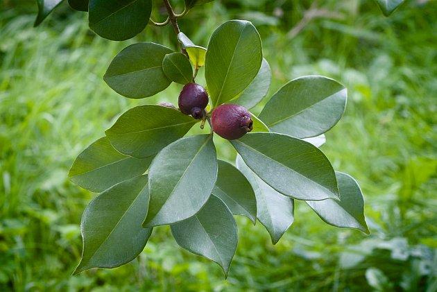 jahodový stromek, Psidium Cattleianum