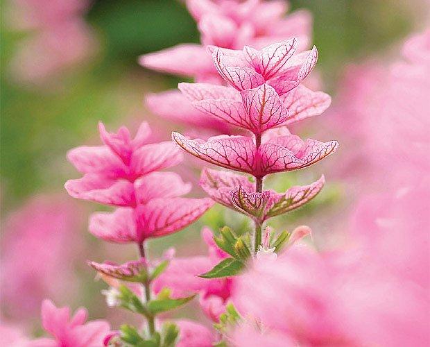Šalvěj zelená (Salvia viridis) 'Pink Sunday'