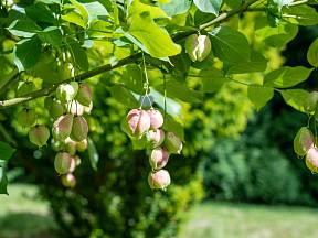 Klokoč zpeřený je krásný původní keř, který není těžké vypěstovat ze semen.