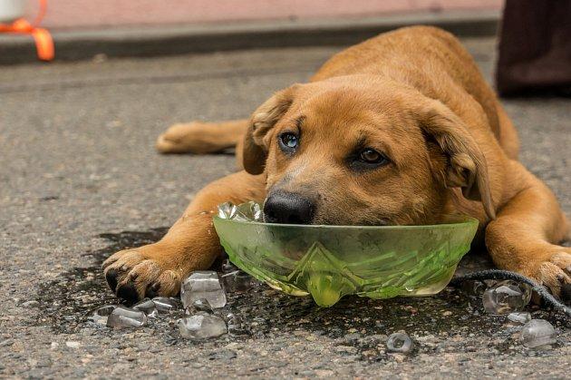 psům vedro vadí víc
