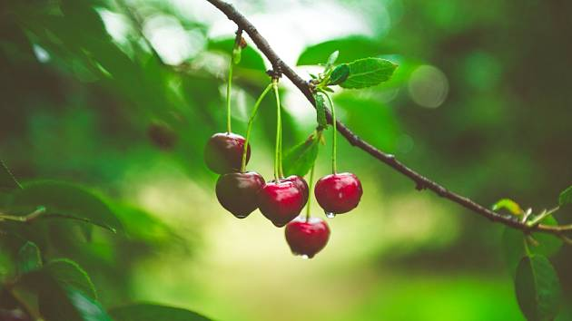 Jak zabránit špačkům, aby vám sežrali třešně