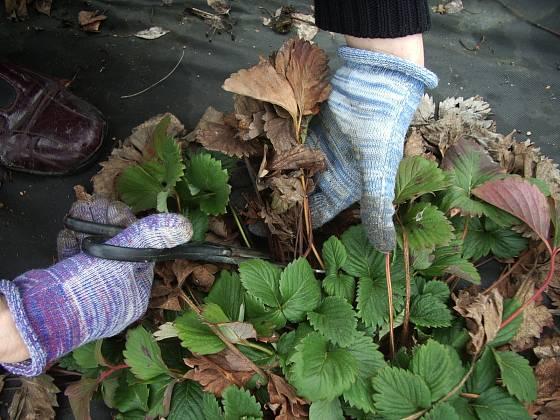 Jahodníky je po zimě třeba důkladně očistit