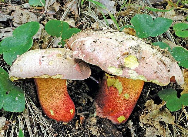 hřib nachový (Boletus rhodoxanthus)
