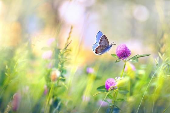 Jetel poskytuje potravu mnohým motýlům, včetně velmi vzácného modráska jetelového