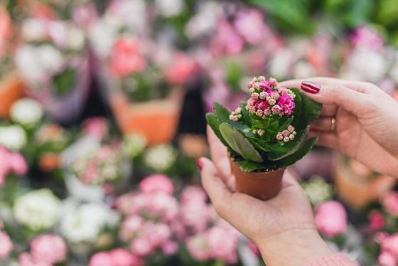 Kalanchoe se prodávají v květináčích o průměru od 5 cm.