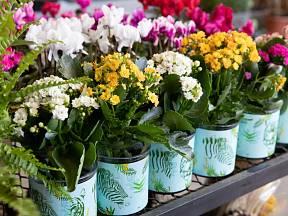 Kolopejka vděčná (Kalanchoe blossfeldiana) patří mezi atraktivní kvetoucí pokojovky.