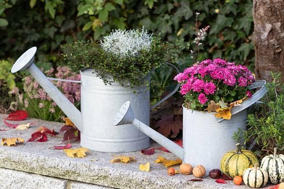 Drátovec jako součást atraktivního podzimního aranžmá.