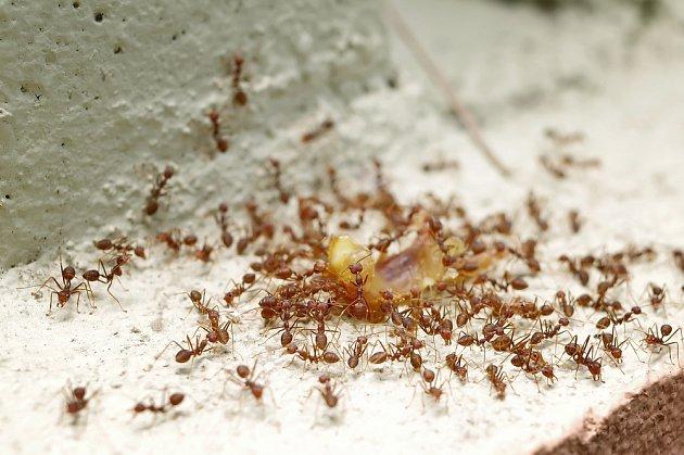 Jeden mravenec vám může být jedno. Kolonie již dokáže zničit úrodu či pořádně znepříjemnit bydlení.