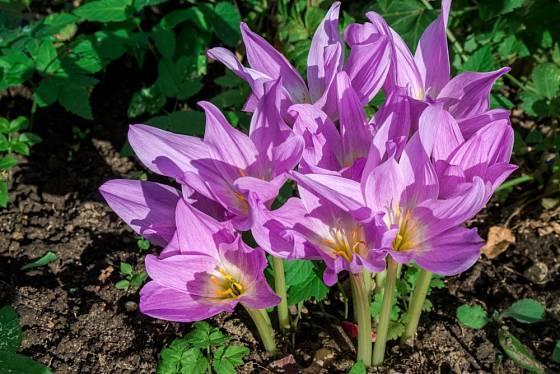 Ocún Colchicum THE GIANT - z jedné hlízy vykvétá více květů.