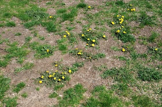 Špatně udržovaný trávník ovládly pampelišky.
