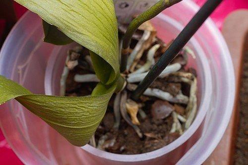 Jestliže už květině listy zežloutly či divně vysychají a dokonce začaly opadávat, orchidej vám dává najevo, že potřebuje jiné místo, nejlépe bez přímých slunečních paprsků.
