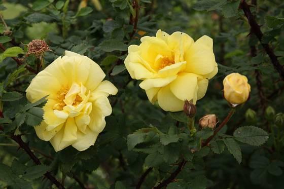 Rosa x harisonii
