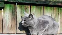 Ruská modrá kočka vyniká nejen krásnou srstí, ale také citlivou povahou.