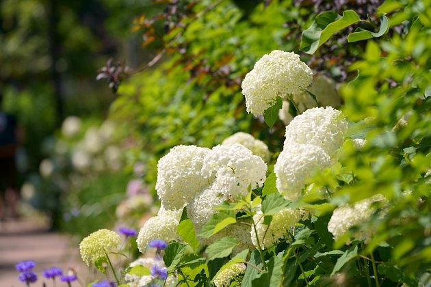 Hortenzie s bílými květenstvími většinou pH půdy neovlivňuje.