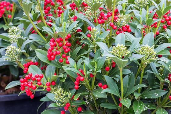 Skimmia japonica  - kontejnerovaná rostlina