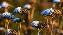 Suché listy ani květenství trvalek na podzim nestříháme. Chrání bázi rostliny a navíc zimní zahradu zdobí