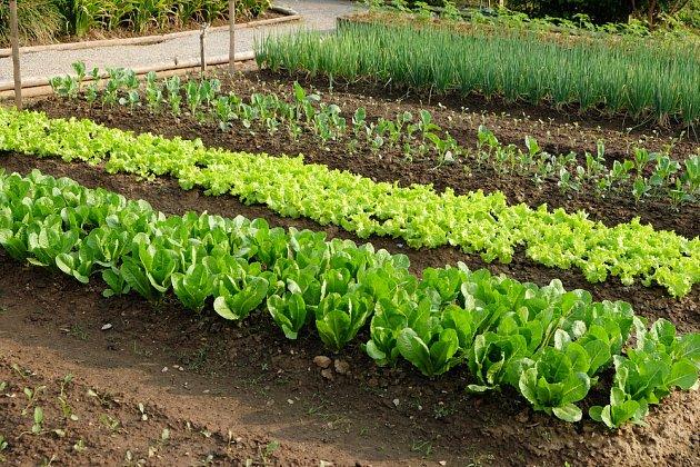 V květnu saláty rychle rostou