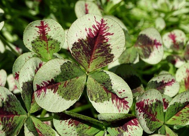 jetel plazivý, Trifolium repens, odrůda  Variegatum