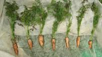 Mrkve pro semenaření vybíráme dle vzhledu kořene i nati