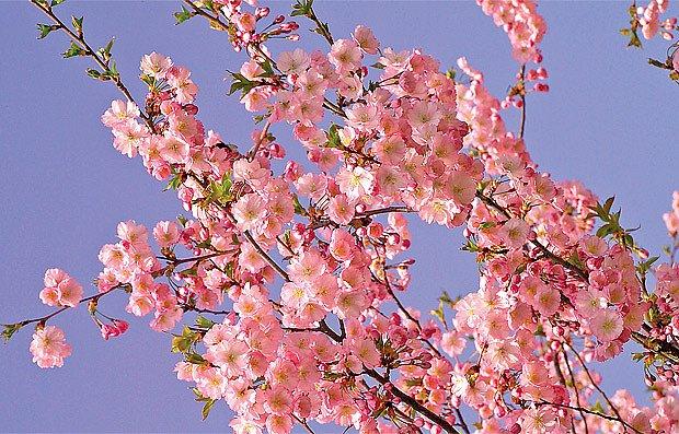 Pohledu na oblohu skrze kvetoucí větve se vyrovná máloco. Na snímku je odrůda Accolade.