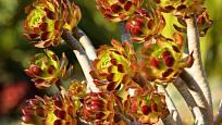 Aeonium arboreum,  varieta atropurpureum