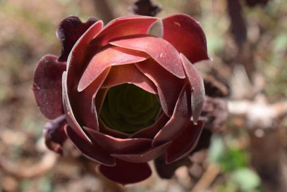 Rozvíjející se listová růžice Aeonia