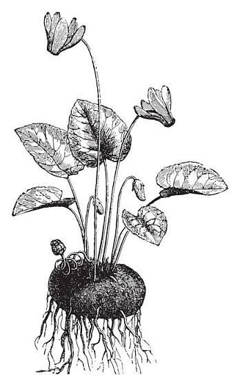 brambořík perský (Cyclamen persicum)