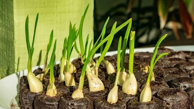 Narašený česnek můžeme pěstovat i v rašelinových tabletách.