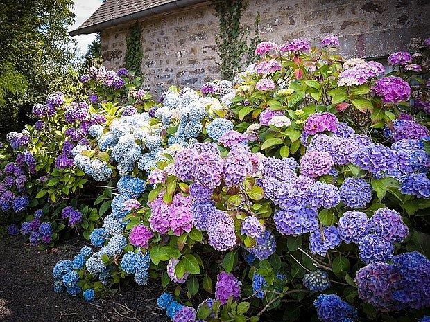 Hortenzie jsou ozdobou zahrady od léta do zimy