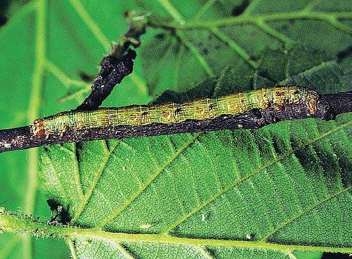 housenka píďalky (Boarmia consonaria)