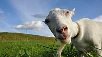 Koza na pastvě