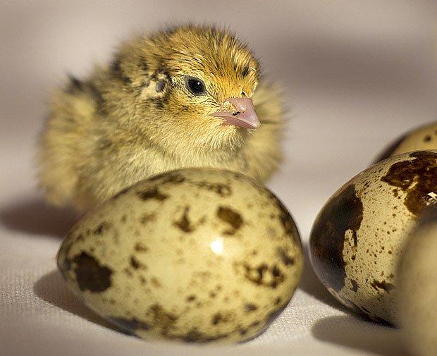 vajíčka a kuře japonské křepelky