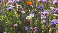 Květinová louka spotřebuje méně vody než sečený trávník. Navíc sytí včely a může obsahovat i jedlé a léčivé trvalky i letničky