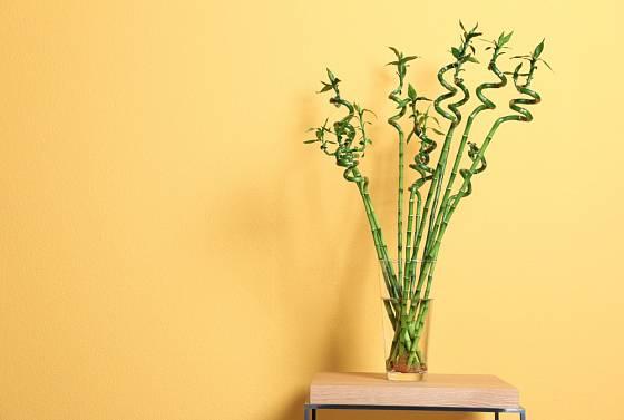 Dračinec pruhovaný (Dracaena sanderiana) může být zajímavým prvkem v moderním interiéru.
