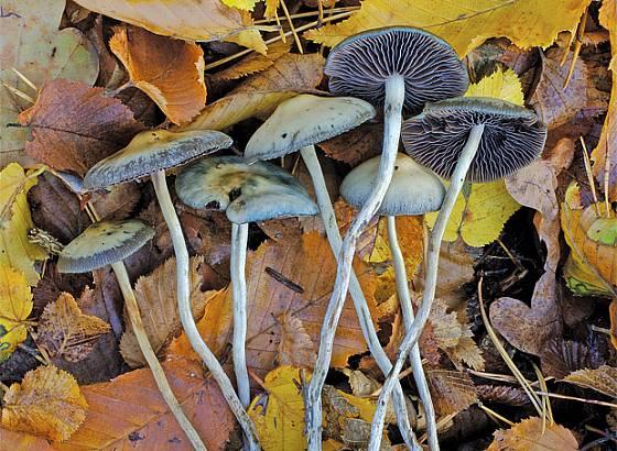 lysohlávka tajemná (P. serbica)