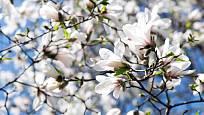 šácholan japonský (Magnolia kobus)