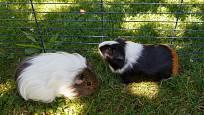 Chladivý stín stromů ochrání morčata a králíky ve výběhu před horkem a úpalem