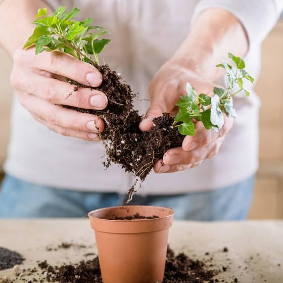Při přesazování si některé rostliny můžeme jednoduše rozmnožit dělením trsů.