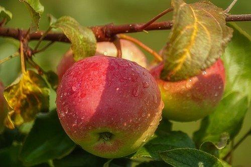 U mladších stromků prořezáváním podpoříte silný růst a správné tvarování. U těch starších zas větší i zdravější ovoce.