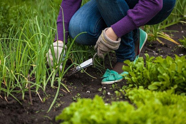 Doba ubývajícího Měsíce je vhodná na okopávání a pletí kořenové, hlíznaté a cibulové zeleniny.