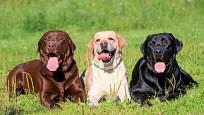 Labradorští retrívři ve třech barvách