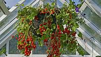 V závěsných koších můžeme pěstovat i některé druhy rajčat.