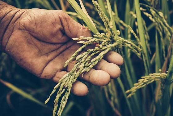 Rýže se při zpracování musí loupat.