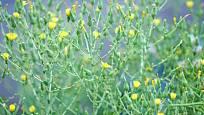 Jediný salát vytvoří spoustu květních úborů a posléze semen