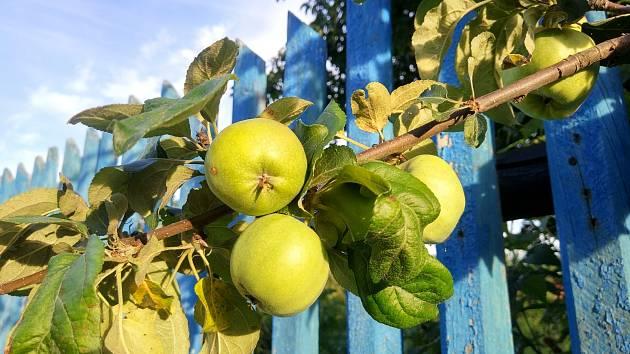 Kdo si může vzít ovoce přesaující přes plot?