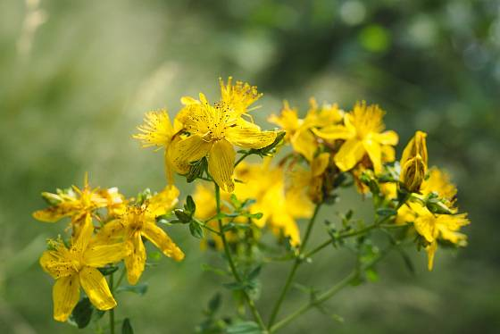 Třezalka skvrnitá (Hypericum maculatum) bývá často s třezalkou tečkovanou zaměňována.